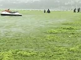 青岛浒苔可能会长期存在于近海